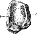 Gilmore Notes on Osteology of Baptanodon Fig 9.png