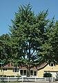 Ginkgo biloba tree (Celina, Ohio, USA) 1 (49047011003).jpg