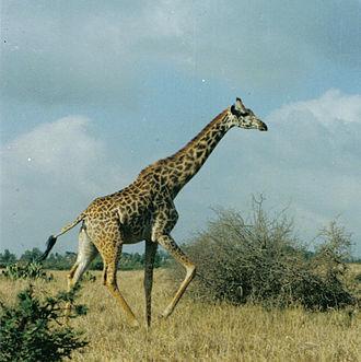 Nairobi National Park - A giraffe in Nairobi National Park.