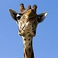Giraffe (7428428088).jpg