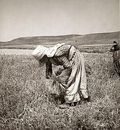 Femme penchée, ramassant les restes de céréales