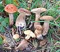Gljive SumadijeJoe33.jpg