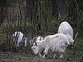 Goats - panoramio (1).jpg
