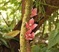 Goethea strictiflora2 ies.jpg