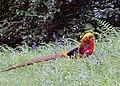 Golden Pheasant at Trevarno Gardens - geograph.org.uk - 522779.jpg