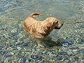 Golden retriever swimming 1380155.jpg