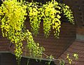 Golden shower tree bloom 2.jpg