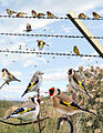 Goldfinch from the Crossley ID Guide Britain and Ireland.jpg