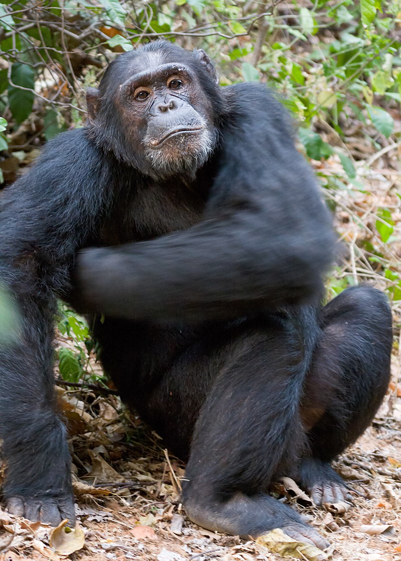 Chimpanzee 'Super Strength' and Human Muscle Evolution