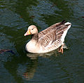Goose in Hooks Marsh Lake at Fishers Green, Lee Valley, Waltham Abbey, Essex, England 02.jpg
