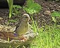 Gråsparv House Sparrow (20342635272).jpg