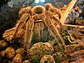 Grammostola rosea, (Chilean rose tarantula), Natuurmuseum Nijmegen, the Netherlands.JPG