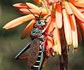 Grasshopper 2017 07 02 0352c.jpg