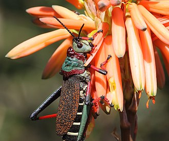 Dictyophorus spumans - Image: Grasshopper 2017 07 02 0352c
