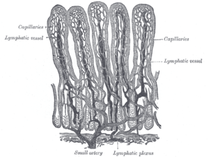 Lacteal - Villi of small intestine, showing bloodvessels and lymphatic vessels.