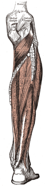 Drawing of the humna leg musculature