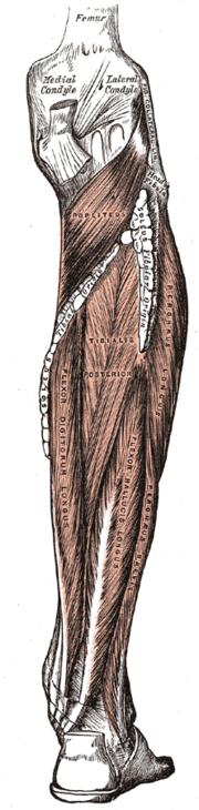 Músculo peroneo largo - Wikipedia, la enciclopedia libre