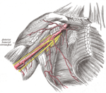 Axillary artery and its branches - anterior view of right upper limb and thorax.