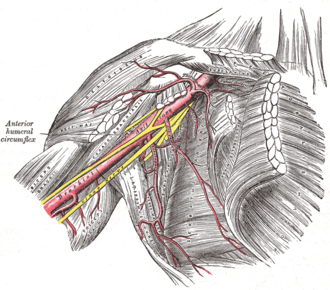 Axillary sheath - Axillary artery and its branches - anterior view of right upper limb and thorax (axillary sheath not labeled, but region is visible)