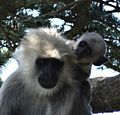 Gray Langur - Mother and Young, Shimla, Himachal Pradesh.jpg