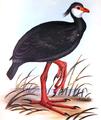 Gray R G Bird 1844-49.png
