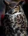 Great-horned-owl-10.jpg