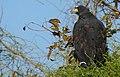 Great Black Hawk (Buteogallus urubitinga) (48430069152).jpg