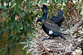 Great Cormorants Nesting Feb09.jpg
