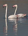 Greater Flamingo, Phoenicopterus roseus at Marievale Nature Reserve, Gauteng, South Africa (27624294320).jpg