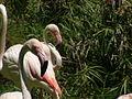 Greater Flamingoes 01.jpg