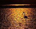 Greater flamingo - Flamingo - Phoenicopterus roseus.jpg