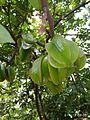 Green Fruits.jpg