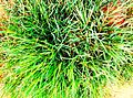 Green Grass In Terai.jpg