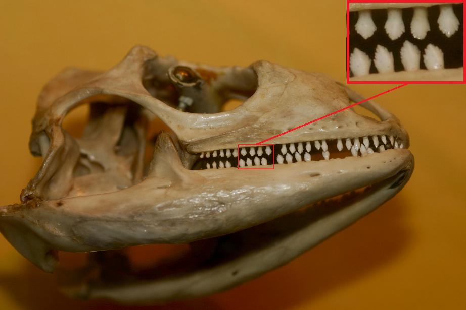 Green Iguana skull (Iguana iguana) and teeth