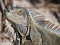 Green iguana (6980044734).jpg