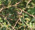 Greenish Warbler (Phylloscopus trochiloides) in Kawal WS, AP W IMG 1562.jpg