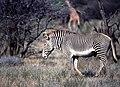 Grevy's Zebra (Equus grevyi) stallion ... (48984933023).jpg