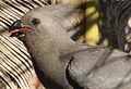 Grey go-away bird, a bit of tongue (9667024664).jpg