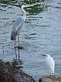 Grey heron and Little egret in Ochiai Park.jpg