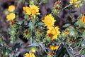 Grindelia integrifolia (8745661826).jpg