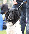 Grote Münsterländer - world dog show 2010 3.jpg
