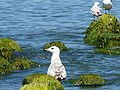 Gulls on a Polish Baltic coast - 18.JPG