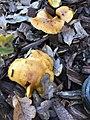 Gymnopilus sapineus 58778622.jpg