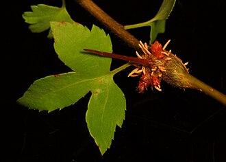 Gymnosporangium clavipes - A cedar-quince rust canker on a hawthorn branch