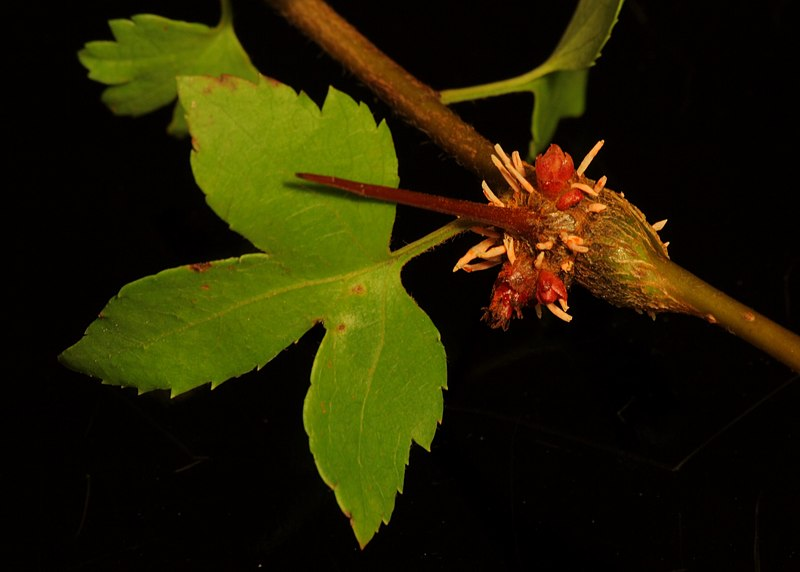File:Gymnosporangium clavipes with aecia on Crataegus branch.jpg
