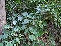 Gymnostachyum latifolium (8294391000).jpg