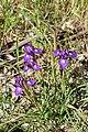 Gynandriris-sisyrinchium-shoqeda-forest.jpg
