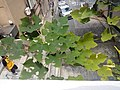 HK 上環 Sheung Wan 卜公花園 Blake Garden plants view 普義坊 Po Yee Street 百勝 July 2017 Lnv2 01.jpg