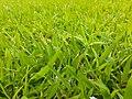 HK Central Edinburgh Place Memorial Garden green grass April 2021 SS2 02.jpg