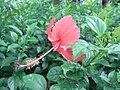HK Sai Ying Pun Des Voeux Road West 大紅花 China Rose red flower Summer 2010.JPG